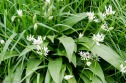 yum...Wild Garlic